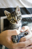 Man hands holding a kitten. Young man hands holding a tabby kitten Royalty Free Stock Photo