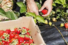 Man hands picking beautiful red strawberries Stock Images