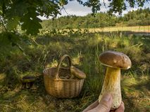 Forest Mushroom Picking. Boletus edulis. Man hands picking Mushroom oBoletus edulis, fresh organic food healthy lifestyle forest nature on background.Boletus Royalty Free Stock Photography