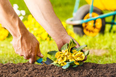 Man hands planting a yellow flowers plant Royalty Free Stock Photos