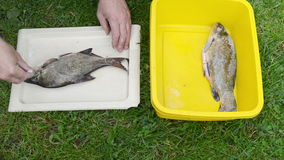 Man hands salt freshly caught bream tench fish stock footage