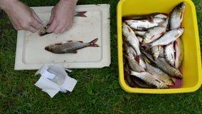 Man hands salt freshly caught roach fish stock footage
