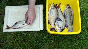 Man hands salting freshly caught roach fish stock video