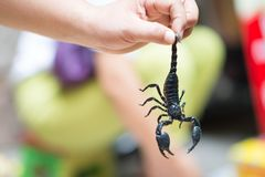 A man hanging an Emperor scorpion also called Pandinus imperator or giant forest black scorpion in a street market of Xi`An. Some emperor scorpions, also called royalty free stock photos