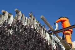 Man hanging fish on rack Norway Stock Photos