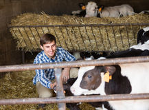 Man happily stroking cows Royalty Free Stock Photography