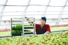 Man with harvest in greenhouse. Portrait of young male worker standing near rack with fresh lettuce in large commercial greenhouse and smiling at camera Royalty Free Stock Photo
