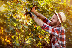 Man harvester cutting bunch of grapes in vineyard stock photography