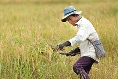 Man harvestin rice Stock Images