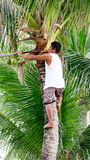 A man harvesting coconut fruits Stock Photography