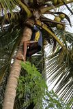 Man harvesting coconuts. A Man is harvesting coconuts Stock Image