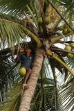 Man harvesting coconuts. A Man is harvesting coconuts Royalty Free Stock Images