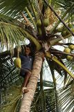 Man harvesting coconuts. A Man is harvesting coconuts Stock Photo