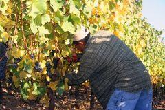 Man Harvesting Grapes. Man cutting grape clusters into bucket during harvest Stock Photo
