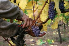 Man Harvesting Grapes stock images