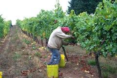 Man Harvesting Grapes. Man in vine row harvesting pinot noir grapes Stock Images