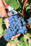 Man harvesting grapes Royalty Free Stock Photo