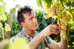 Man harvesting grapes under sunset light. In a vineyard Royalty Free Stock Photography