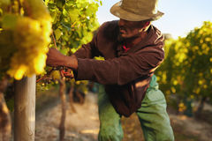 Man harvesting grapes in vineyard. Farmer picking up the grapes during harvesting time. Young man harvesting grapes in vineyard. Worker cutting grapes by hands Stock Images
