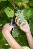 Man Harvesting Grapes Stock Photography