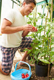 Man Harvesting Home Grown Tomatoes In Greenhouse Royalty Free Stock Photo