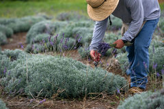 Man Harvesting Lavender Stock Photos