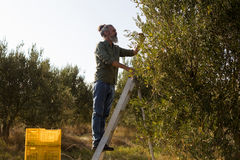 Man harvesting olives from tree. In farm Royalty Free Stock Photography