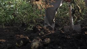A man is harvesting potatoes. Potatoes in the ground. Growing potatoes. A man digs up potatoes with a spade. stock video footage