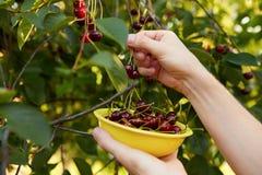 Man harvesting ripe cherries Stock Images