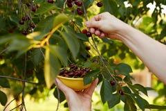 Man harvesting ripe cherries Stock Image