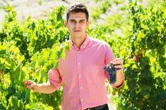 Man harvesting ripe grape in farm Stock Photo