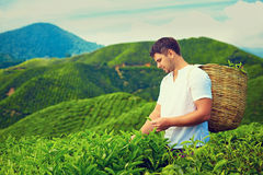 Man harvesting tea leaves on plantation Stock Photo