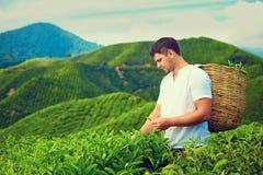 Man harvesting tea leaves on plantation. Man harvesting tea leaves on highland plantation Stock Photo