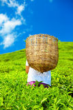 Man harvesting tea leaves on plantation Royalty Free Stock Photo