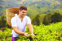 Man harvesting tea leaves on plantation. Smiling man harvesting tea leaves on plantation Stock Image