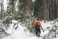 Man with hatchet in the hands of carries Christmas tree in the winter forest Royalty Free Stock Photography