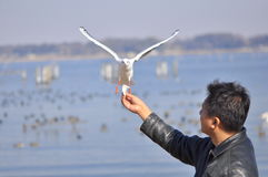 A man having fun feeding bird at a beach. Picture of a man having fun feeding a seagull at a beach. The picture shows that a trusting relationship between human Stock Photography