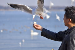 A man having fun feeding bird at a beach. Picture of a man having fun feeding a seagull at a beach. The picture shows that a trusting relationship between human royalty free stock photography
