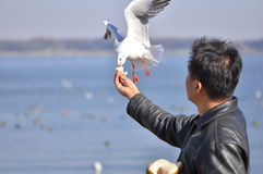 A man having fun feeding bird at a beach. Picture of a man having fun feeding a seagull at a beach. The picture shows that a trusting relationship between human Stock Photos