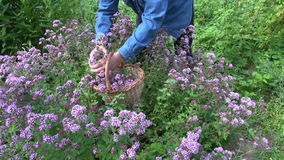 Man herbalist gardener collecting flowering oregano for drying stock footage