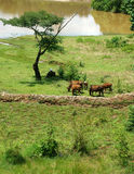 The man herd oxen at countryside Stock Photography
