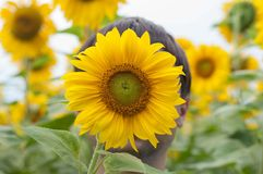 Man hides the face behind sunflower Stock Image