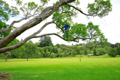 A man high up in a tree at a New Zealand park. Royalty Free Stock Images