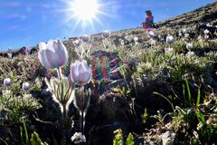 Man hiker in alpine meadows with pasque wildflowers. Royalty Free Stock Photos