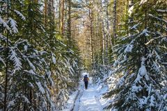 Man hiker with backpack traveling in winter snowy forest landscape. Active vacations outdoor concept Stock Photography