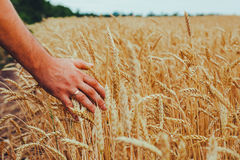A man with his back to the viewer in a field of wheat touched by Stock Images