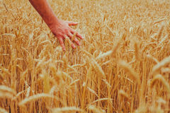 A man with his back to the viewer in a field of wheat touched by stock photos