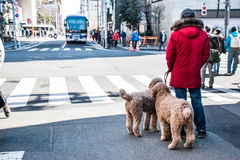 Man and his dog wait green traffic light for acroos at junction Royalty Free Stock Photo