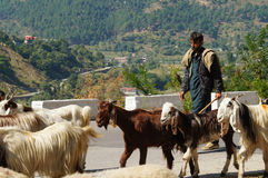 A man with his goats  on the way to Babusar Pass , Pakistan Royalty Free Stock Images