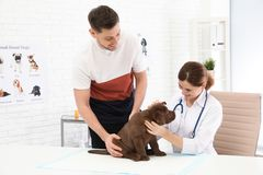 Man with his pet visiting veterinarian in clinic. Doc examining. Labrador puppy royalty free stock image
